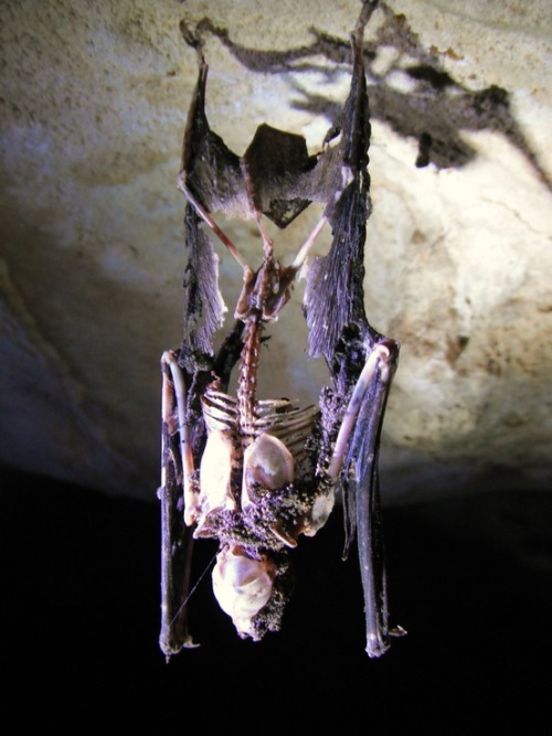 dead bat still hanging from the ceiling of a cave.