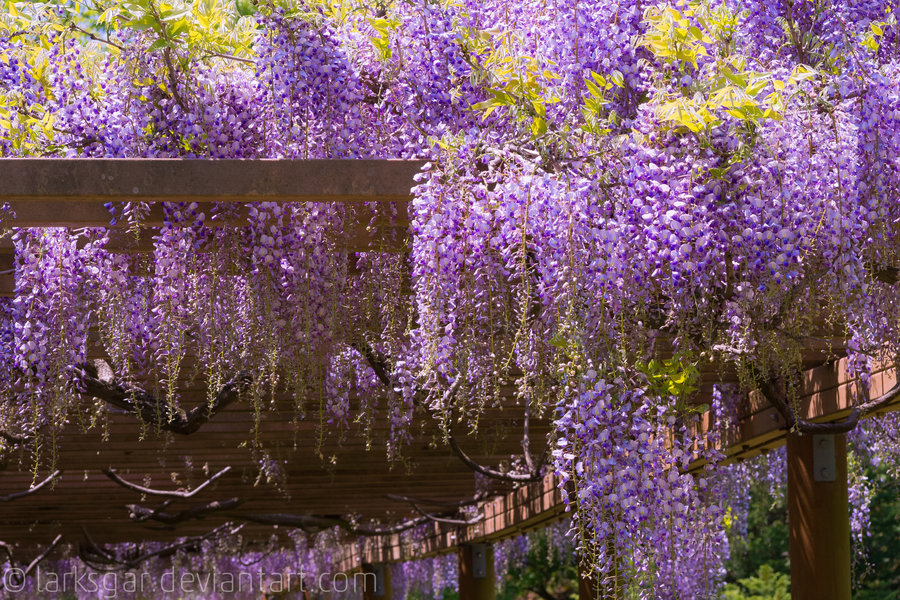 Wisteria in the art museum II by *larksgar