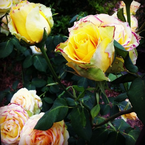Spring, Yellow Roses. #CommuteToSchool