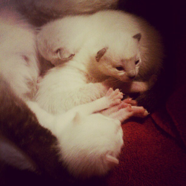 My 10 day old grandkittens <3 #siamese #kittens #crazycatladyforlife