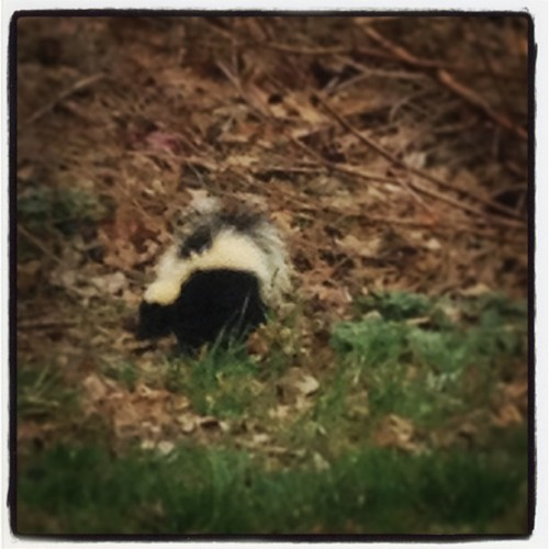Skunk! #countryfoke #smelly #scary #walkingaroubdmycar #black #white #smh