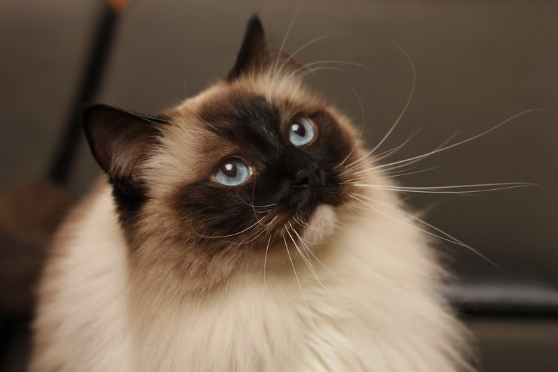 catsamazing:  A Ragdoll, watching patiently.