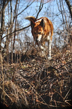 Cody on the prowl.  More of my dog and other stuff right here.