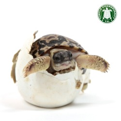 cute new year baby animals turtles tortoise turtle conservation newborn reptiles new born hatchling new year new you turtle conservancy