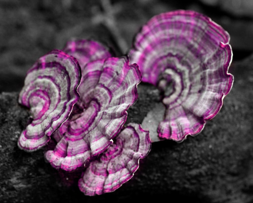 Pink and Purple Turkey Tail Mushrooms