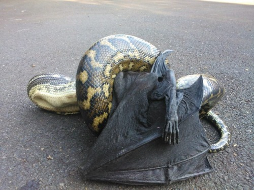 alltailnolegs:  God daaamn snake, how'd you catch that one? Must've been grounded. This reminds me of when I was out at Bracken Cave and they mentioned that snakes will hang around in the funnel of the cave opening, waiting for young bats to drop out of the air and catch an easy meal.  They also wait at cave opening and catch them out of the air as they are exiting for the night. So do green tree frogs.
