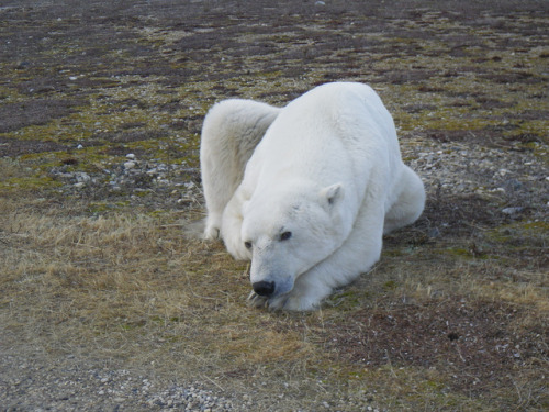 "thepolarbearblog:  Bid to ban international trade of Polar Bear parts fails Today delegates at the CITES meeting in Thailand rejected the proposal to protect polar bears from the commercial trade of their body parts. The proposal was put forward by the US with support from Russia but was opposed by Canada, the only country to allow the exporting of polar bear parts. Unfortunately the proposal failed to win the two-thirds needed to pass. The results ended with 38 countries voting in favour of the US proposal, 42 against and 46 refrained.  ""Limiting commercial trade in this species would have addressed a source of non-climate stress to polar bear populations and contributed to long-term recovery,"" said the statement from the U.S. Fish and Wildlife Service. ""Each year, an average of 3,200 items made from polar bears - including skins, claws and teeth - are reported to be exported or re-exported from a range of countries. Polar bear hides sell for an average of $2,000 to $5,000, while maximum hide prices have topped $12,000.""  The rejection of the proposal means that the export of polar bear skins, teeth and paws from Canada will continue. [Photo credit: Martin Lopatka]"
