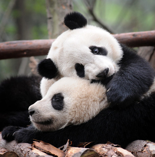 A good way to celebrate Earth Day. The Guardian: Pandas At Play in China