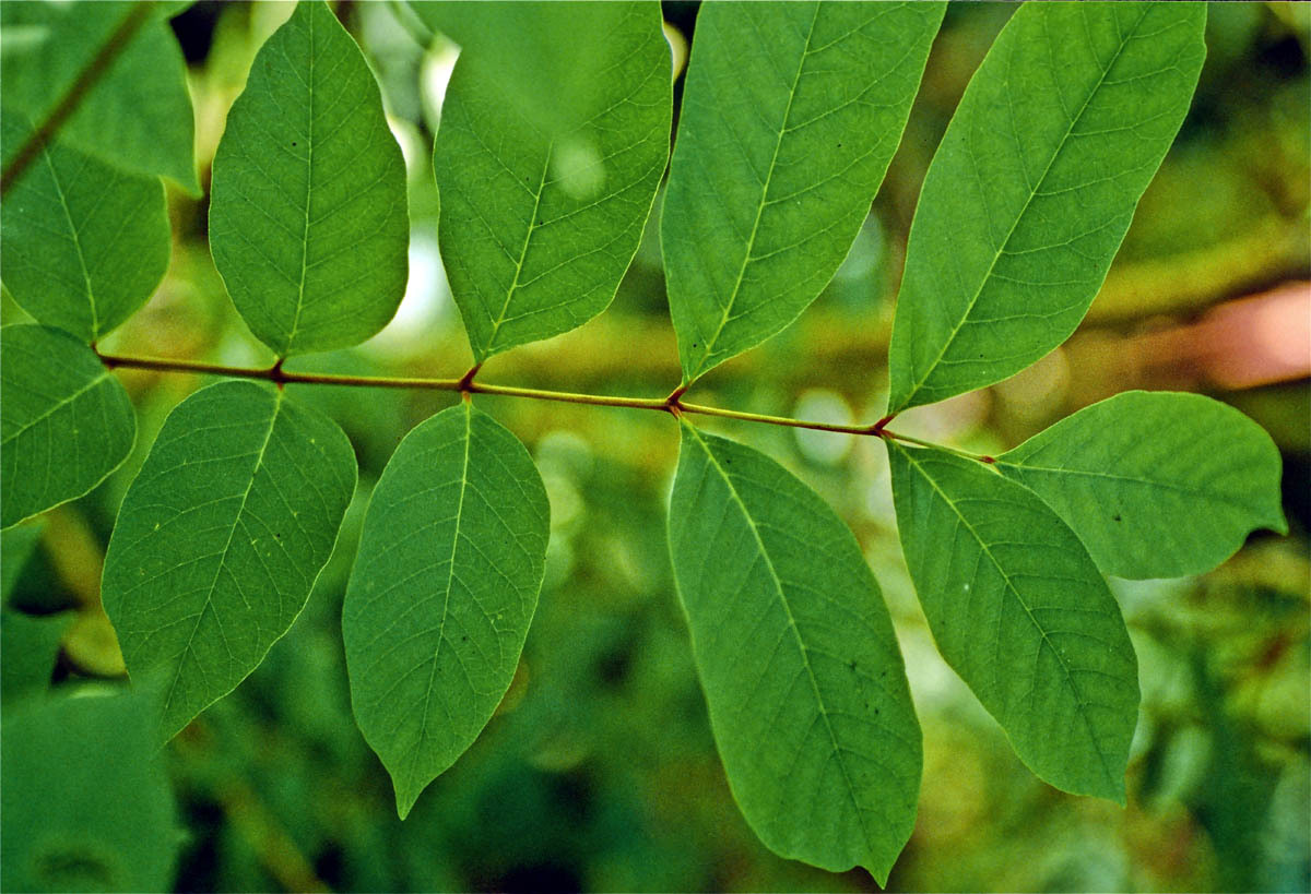 Poison sumac, Toxicodendron vernix, is far more poisonous than poison ivy or poison oak. If inhaled, smoke from burning poison sumac can cause pulmonary edema. This is because of the urushiol, the same compound in poison ivy. [x]