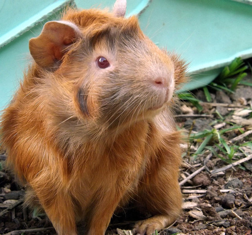 guineapiggies:  (by liic_)