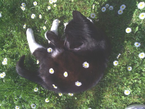 [photo: overhead view of a black cat lying in the grass. there are white flowers surrounding it and white flowers placed on its body.]