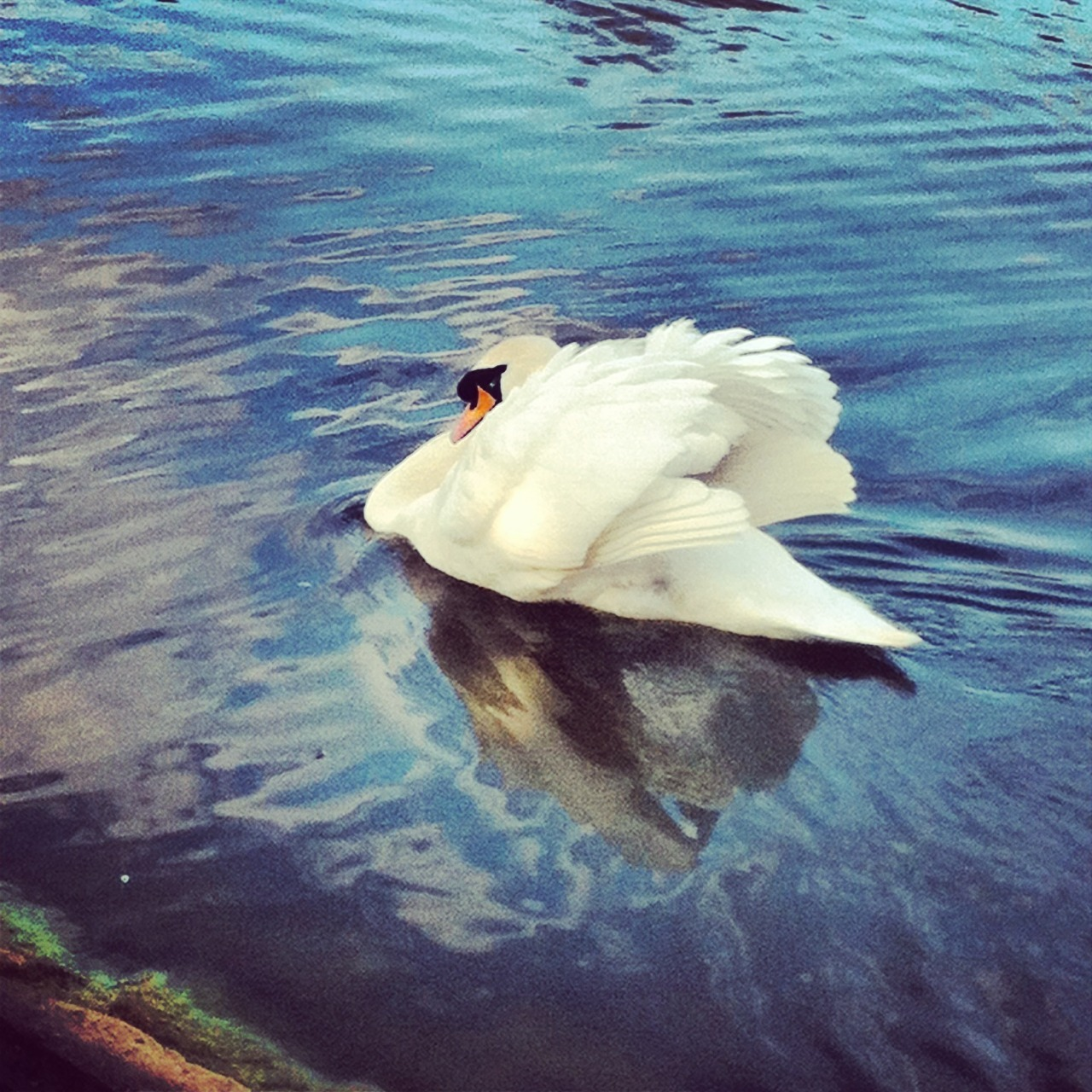 Swan is saltwell park looked fluffy