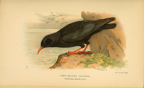 jomobimo:  Red-Billed Chough, Coloured Figures of the Birds of the British Islands / issued by Lord Lilford, 1885-1897