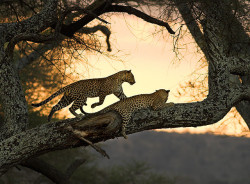 after sunset #2 by AnyMotion on Flickr.Leopards in tree, Tarangire N.P. near Arusha, Tanzania