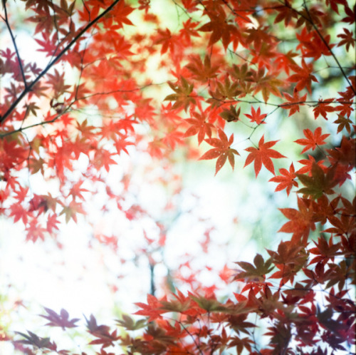 raspberrytart:  Momiji by yocca on Flickr.