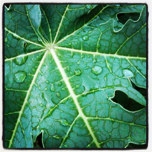 Ibarat Air di Daun Pepaya. #leaves #tree  #instaplant  #instanusantara #Indonesia #instagram