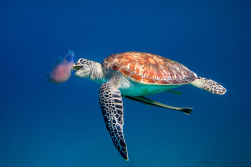reptiglo:  thelovelyseas:  Green Sea Turtle eating Jellyfish - Dimakya, Philippines by Ai Gentel on Flickr