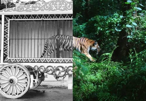 animal circus boycott circus tiger love animals freedom animales libres libertad