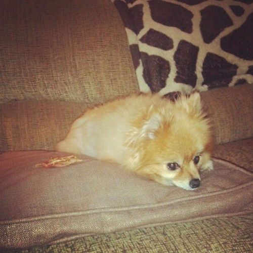 Princess loves a pillow. #pomeranian #pom #Abby