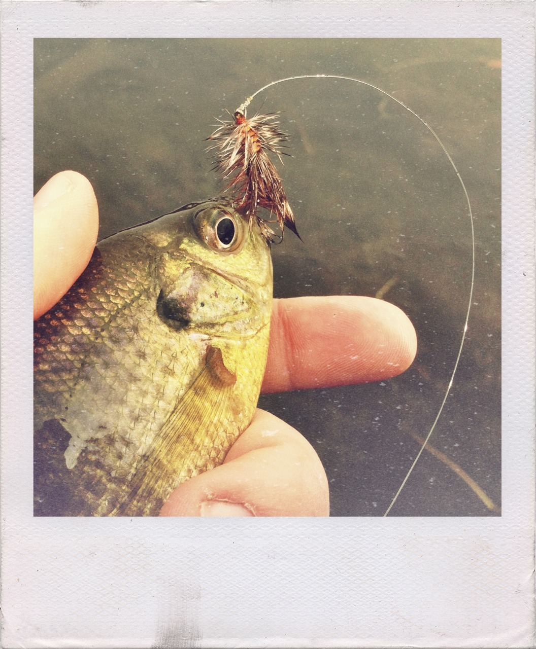 Bluegill on a trout fly. Fauxlaroid.
