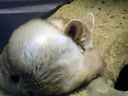 Fennec Fox by trishmesser on Flickr.