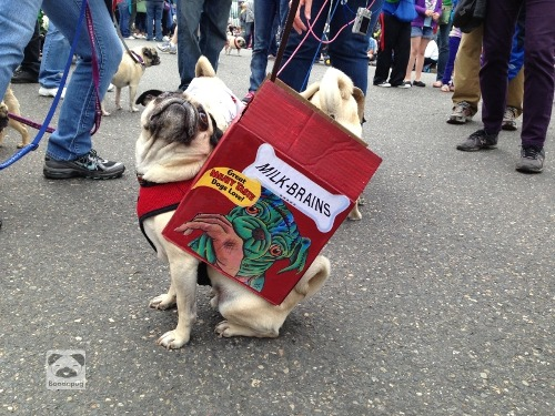 boodapug:  Tons of fun (and pugs and people!) at today's Pug Crawl in Portland. More photos to come!