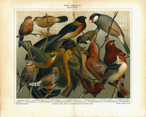 aycarambas:  Birds Vintage Print Antique Color Lithograph at CarambasVintage http://etsy.me/XvTazS
