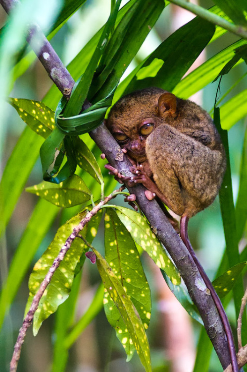 unzoned:  animalkingd0m:  Yoda by Peter Pokrovsky  We call that Tarsier in our country. :D Its so cute and small!  Shifty-looking little bastand has *got* to be up to something.