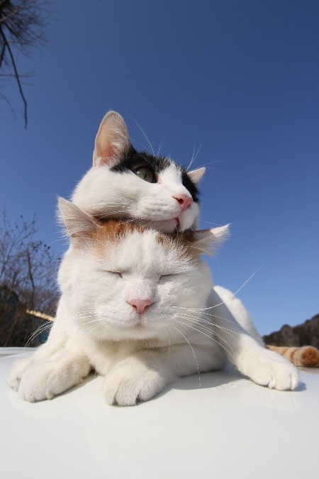 cybergata:  Resting on my Bro, Shironeko