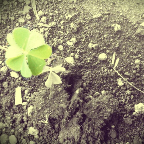 blackbeautymaiden:  i found a lucky four leaf clover…. YIEEE!! #luck #lucky #clover #fourleaf  That appears to be a wood sorrel