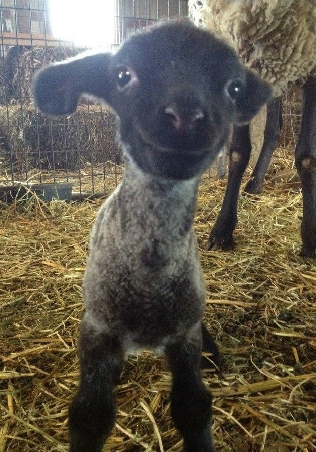 oiabm:  carous3lambra:  methgf:  LOOK AT THIS FACE THIS BABY SHEEP IS SO HAPPY AWH  that face needs to be smooched  LITTLE GUY