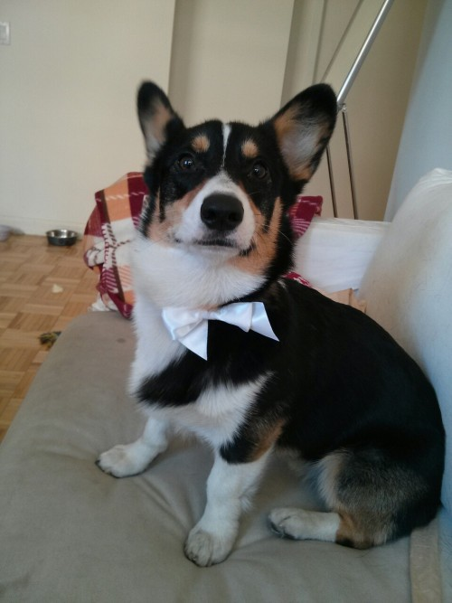 I am… the most interesting corgi in the world.