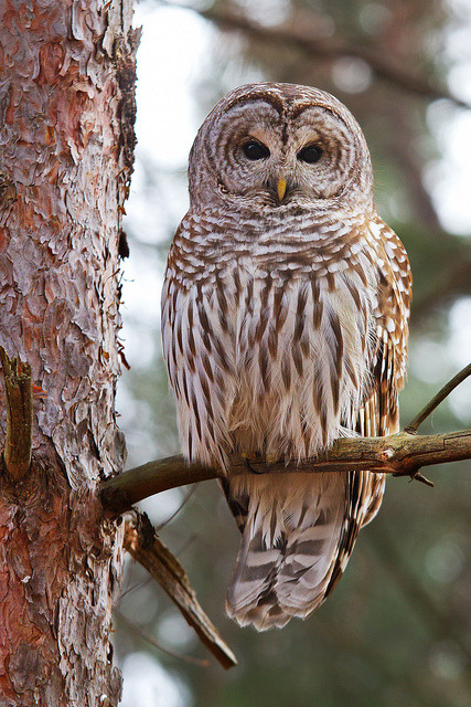 isawatree:  Barred Owl 5 by Jim Cumming on Flickr.