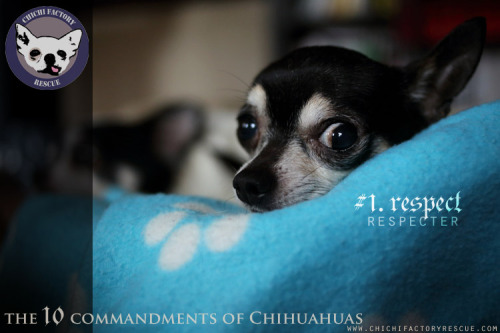 fuckyeahchihuahua:  The 10 commandments of Chihuahuas # 1. Respect (by sgv cats and dogs)