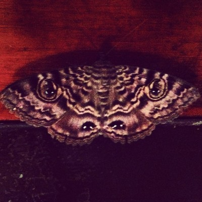 4 eyed freak 👾👻👽 #moth #insect #pretty #foureyes #getthefuckoutmyhouse