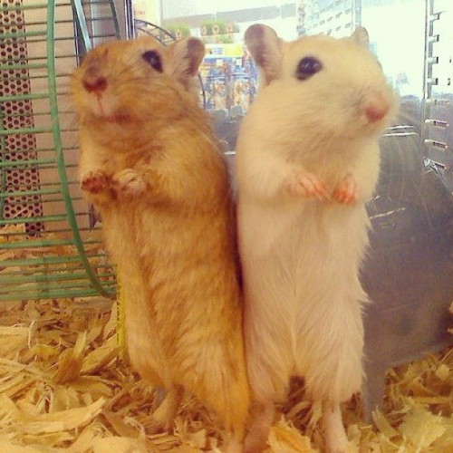 mermaidsandteacups:  🐭🐹💗 soooooo cute!! #hampsters #cute #adorable #love #happy #iphone #iphonesia #bestoftheday  Those are gerbils, not hamsters.