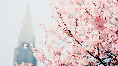 cherries start blooming (by kkshmphotography)