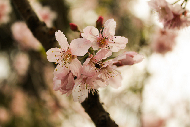 sakura by Tom ▲ on Flickr.sakura