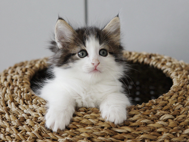 … or a kitten in a basket by Titran's Norsk Skogkatt on Flickr.