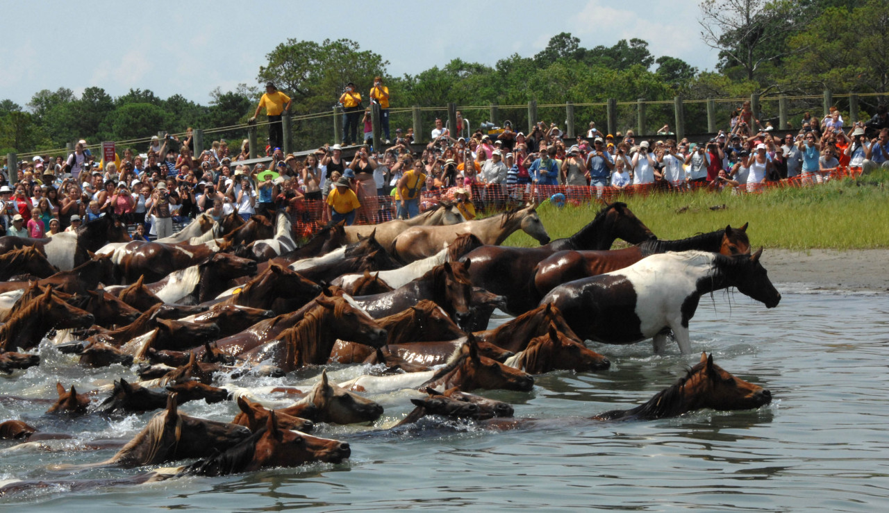 collect-your-reins:  Chincoteague pony swim