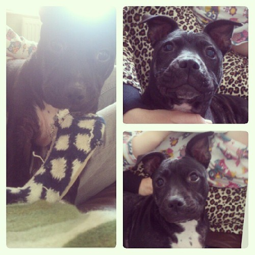 #staffi #cute #puppy #mansbestfriend