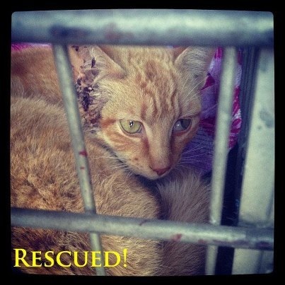 Help newly-rescued Wilton the Cat on his road to recovery! Wilton was rescued earlier this week near Tracy, after he was struck by a speeding motorist on Interstate 205 (connector between I-580 and I-5 in San Joaquin County). A rescuer with Harvest Home Animal Sanctuary found bewildered and dazed Wilton literally sitting on the line divider of the merging line on I-205, inches from cars, trucks and semi's barreling along the roadway. It's an absolute miracle Wilton was not pancaked by a vehicle.  Young Wilton was taken to Jules Veterinary Center in Tracy for emergency care. He sustained trauma to his head, lungs and legs. Currently, he is being closely watched at our sanctuary as he recovers from his injuries.  Support Wilton the Wonder Kitty by making a contribution to his vet care and recovery today! Donate online: Click here. (Designation: Wilton's Recovery Fund) Donate by mail:  Harvest Home Animal Sanctuary PO Box 998 French Camp, CA 95231  Attn: Wilton's Recovery Fund