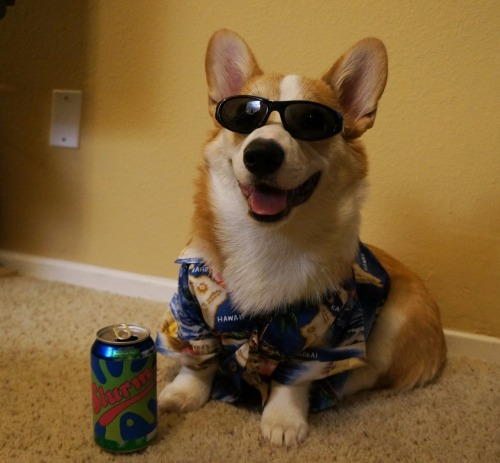precarioustumblr:   Corgi, Hawaiian shirt, shades—check.