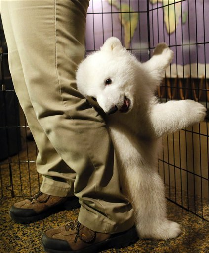 Smiling polar bear cub debuts at western NY zoo  AP: A smiling, playful 3-month-old polar bear cub has made its public debut at the Buffalo Zoo in western New York. The zoo introduced the cub in efforts to fundraise for a new $18 million polar bear exhibit. Around $4 million is still needed. The Buffalo Zoo says it's one of only two zoos in North America to have polar bear births in 2012. Photo: A three-month-old polar bear cub plays around with her keeper as she is introduced to members of the media. (AP Photo/The Buffalo News, Derek Gee)