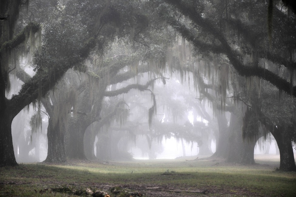 Photo of the Day: The Greenwood Plantation's Oak Alley on a misty morning Photo by Bonnie Marquette (Wakefield, LA); St. Francisville, LA