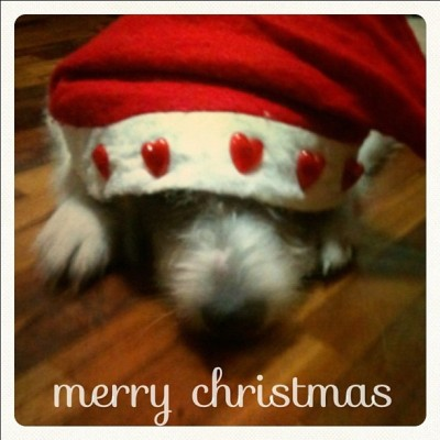 she says merry CHRISTmas to all!! #dog #holidays #merrychristmas #greeting #cute #santa #hat