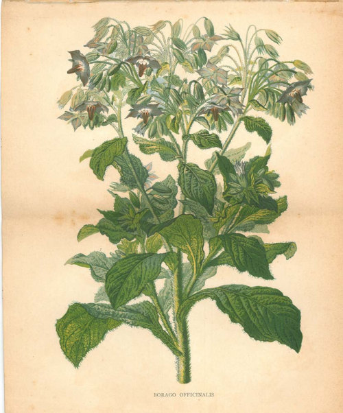 1893 Borage Star Flower Vintage Botanical Print Borago officinalis Antique Color Lithograph at CarambasVintage http://etsy.me/13xGmfc