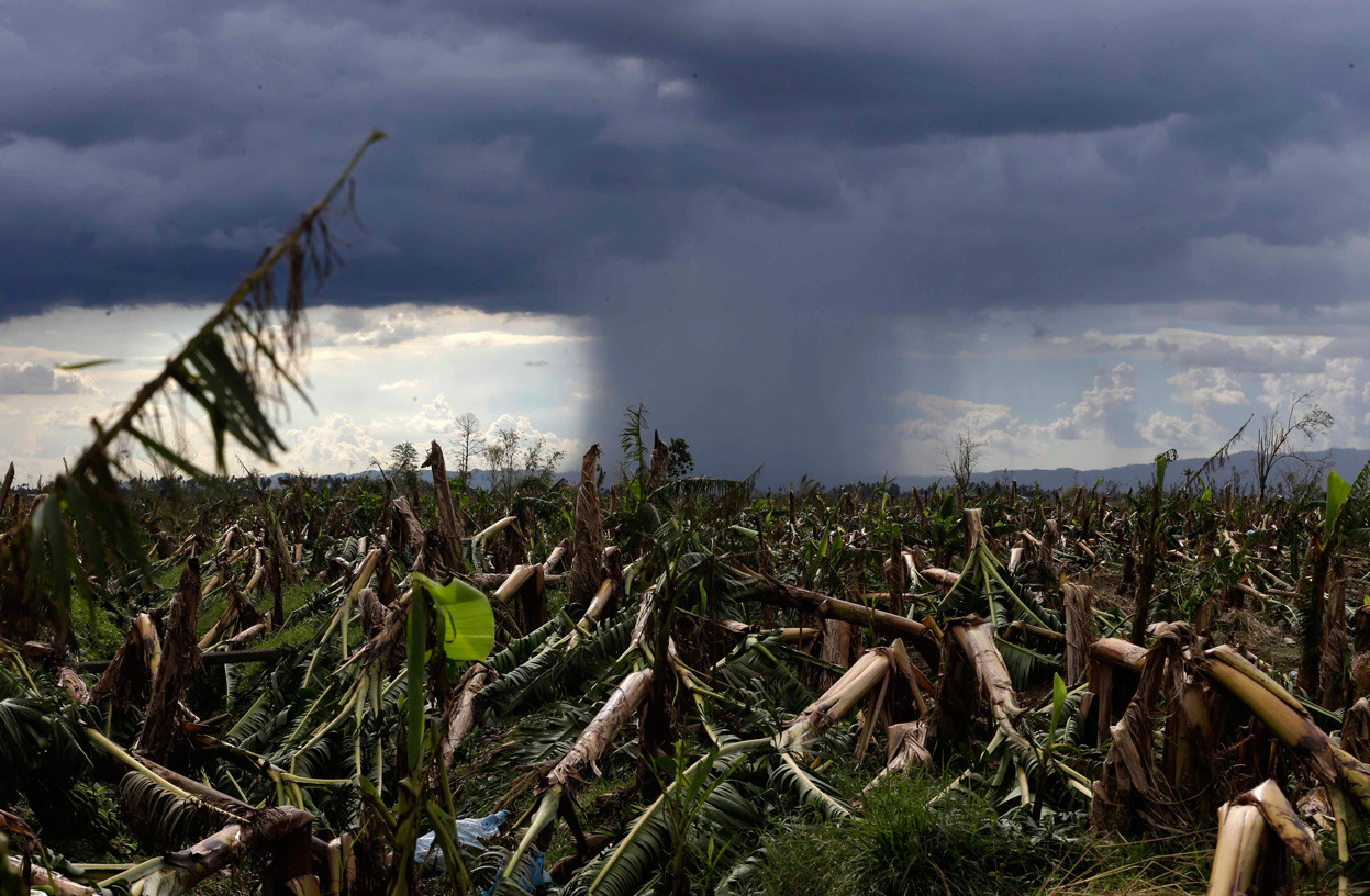 Damaged banana plantation, Montevista township, Compostela Valley, on December 8, 2012. AP Photo/Bullit Marquez Typhoon Bopha