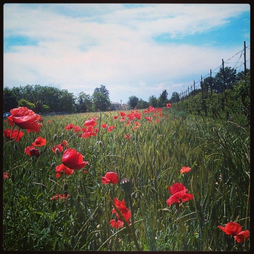 Lo sai che i papaveri… #novi #papavero #field #igersmodena #poppy #allitsfulloflove  (presso The Best Place To Be)