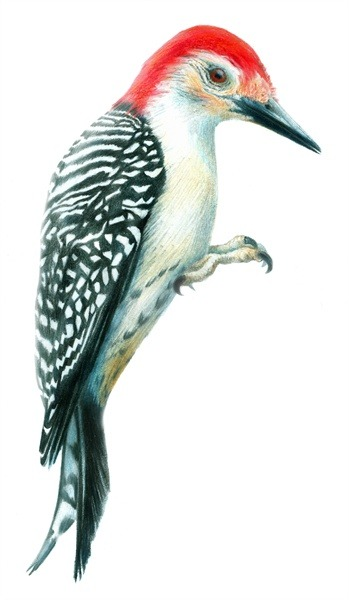 scientificillustration:  A Red-bellied Woodpecker (Melanerpes carolinus) by Zel Stoltzfus http://www.freelanced.com/zelstoltzfus